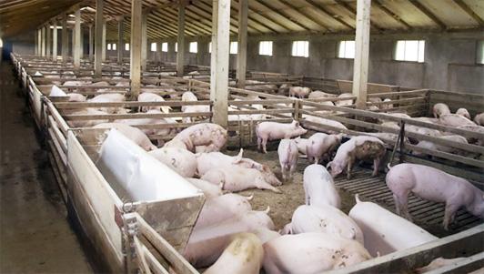 Выращивание свиней бизнес
