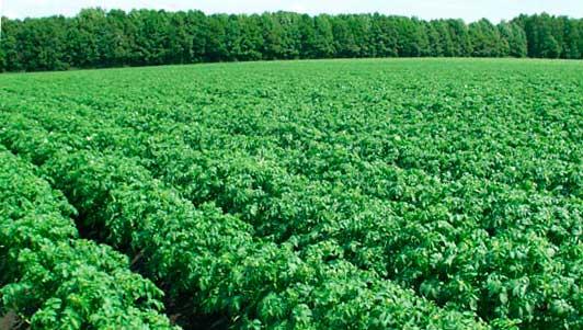 Промышленное выращивание картофеля