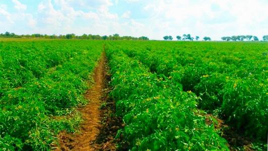 Промышленное выращивание томатов