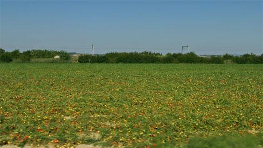 поле томатов