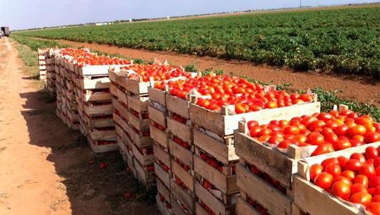 Выращивание томатов бизнес