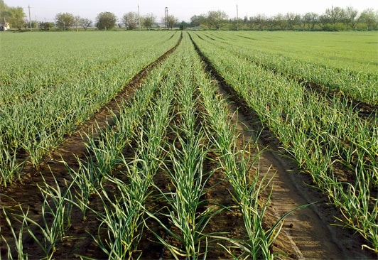 Технология выращивания чеснока