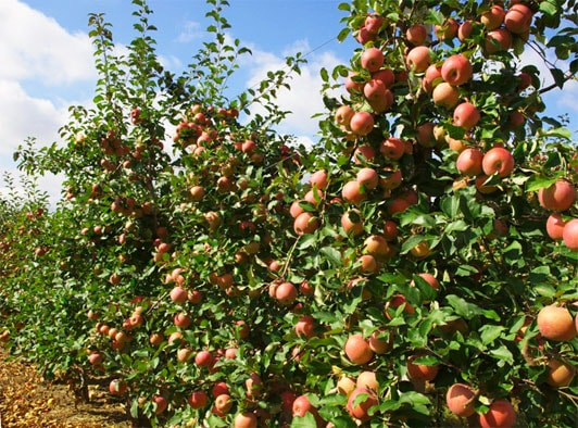яблоневый сад бизнес