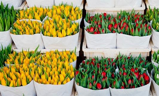 выгонка тюльпанов бизнес