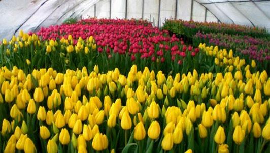 выращивание тюльпанов к 8 марта