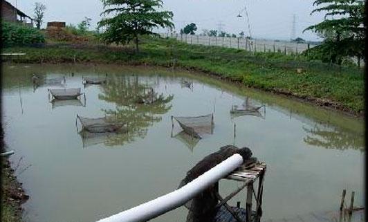 выращивание раков в пруду